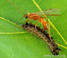 Brachonid-Parasitic-Wasps1