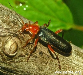 Soldier-Beetles1