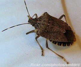 Spined-Soldier-Bugs1-e1430914303182