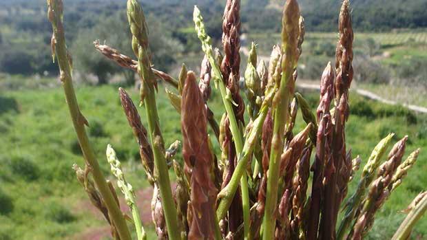 Wild_asparagus_cut