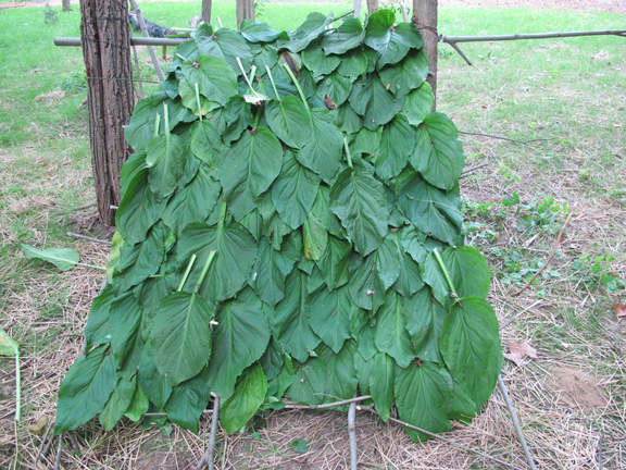 skunk-cabbage-shingles