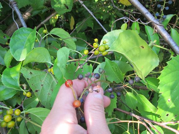 3-berries-in-same-spot