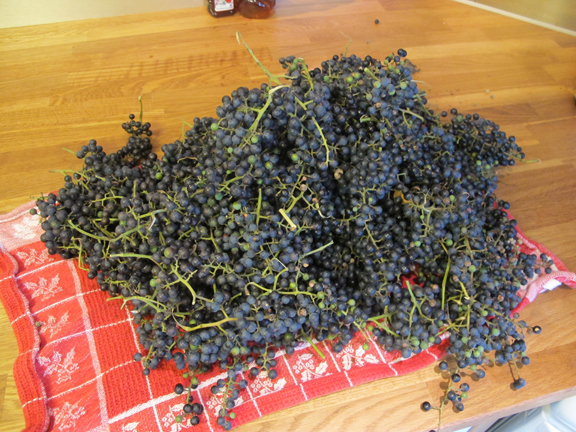wild-grape-harvest