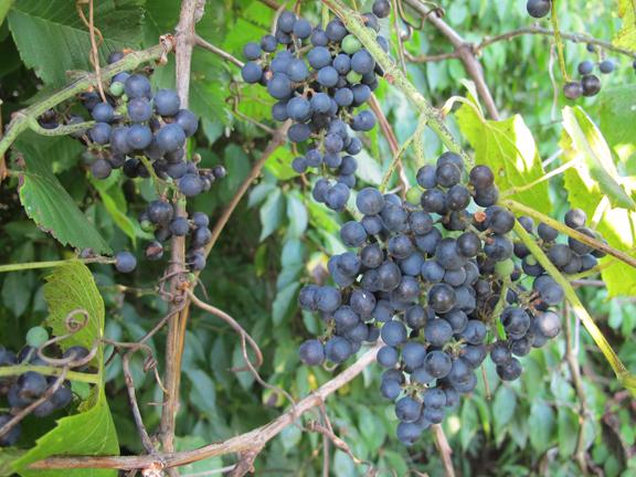 wild-grapes-on-vine-2
