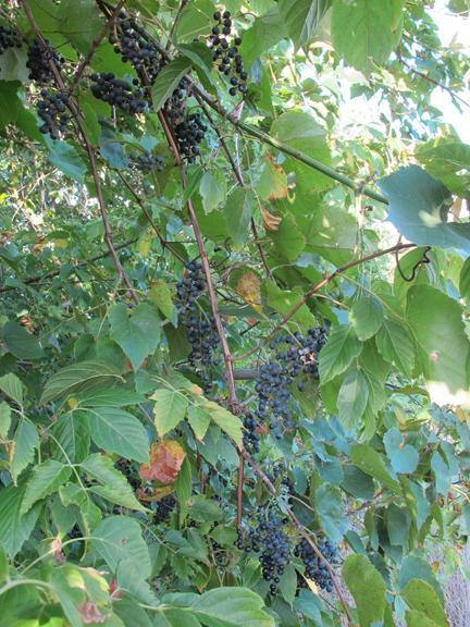 wild-grapes-on-vine