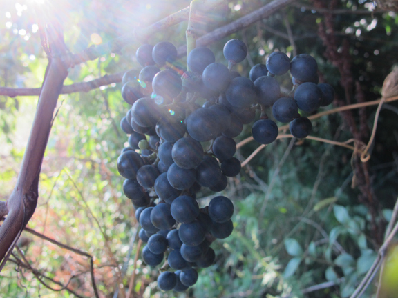 wild-grapes-ray-of-sun