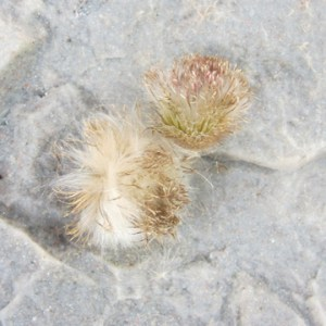 thistle-heads