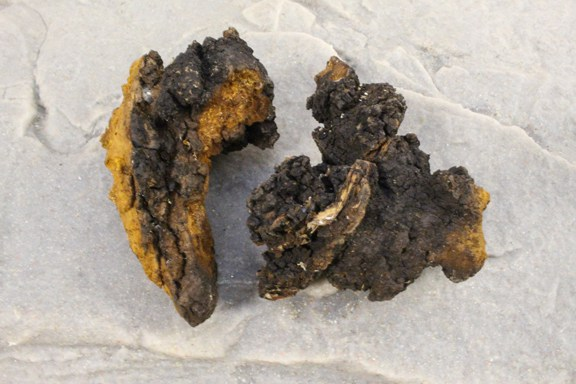 tinder-fungus