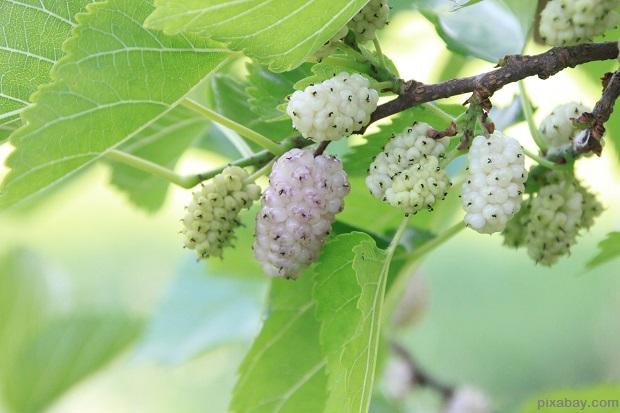 Mullberry