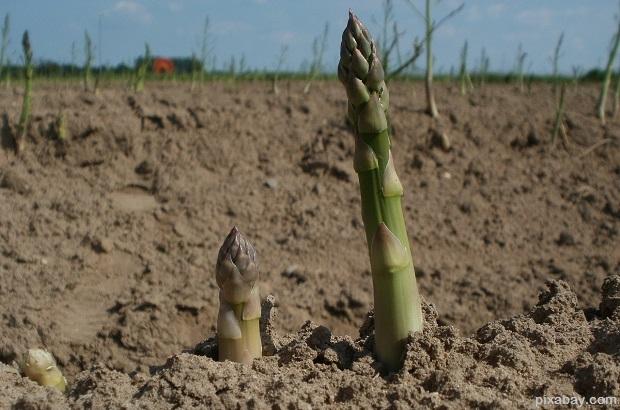 asparagus-839471_1280