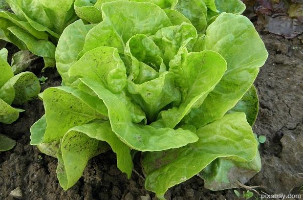 lettuce-176840_1920