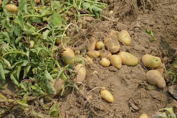 potato-373822_1920